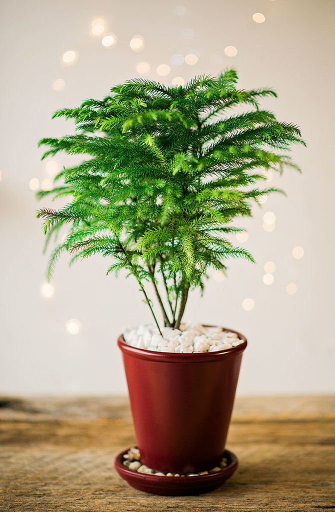Norfolk Island Pine in a red terra cotta planter