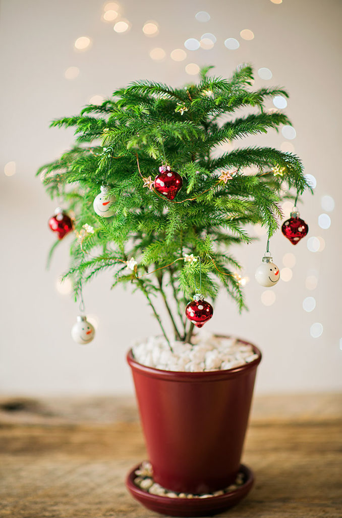 Norfolk Island Pine in a red planter decorated as a Christmas Tree