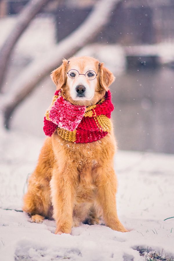 golden retriever in the snow wearing a bright scarf