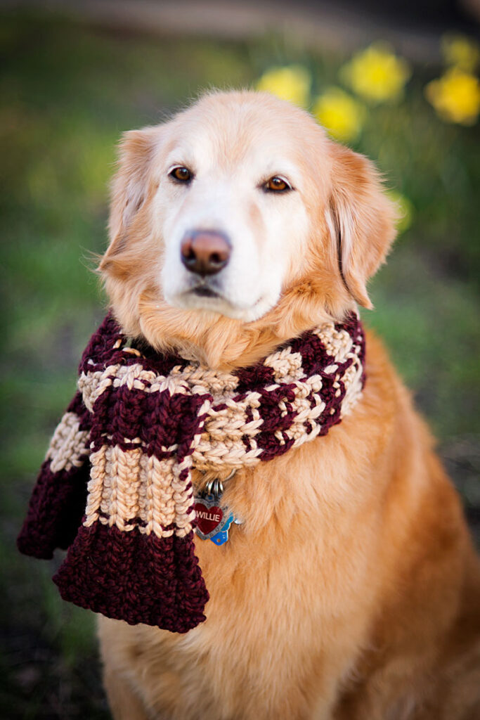 A golden retriever in a striped scarf