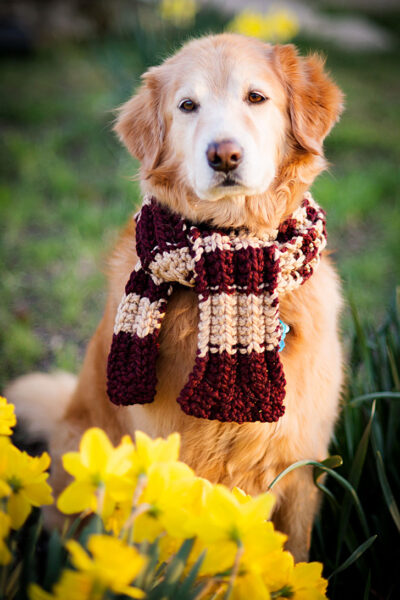 golden retriever in a scarf sitting with daffodils