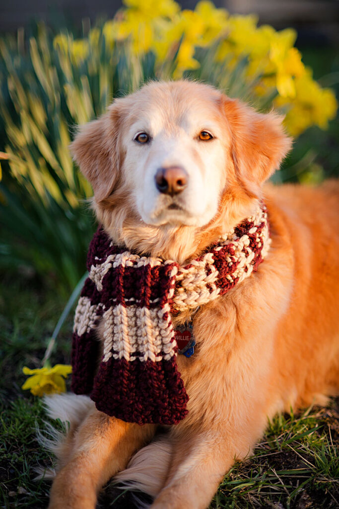 A golden retriever sitting in daffodils wearing a striped scarf
