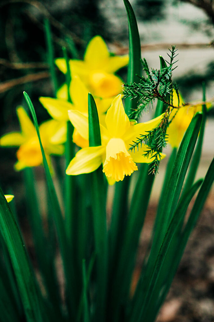 closeup of blooming daffodils