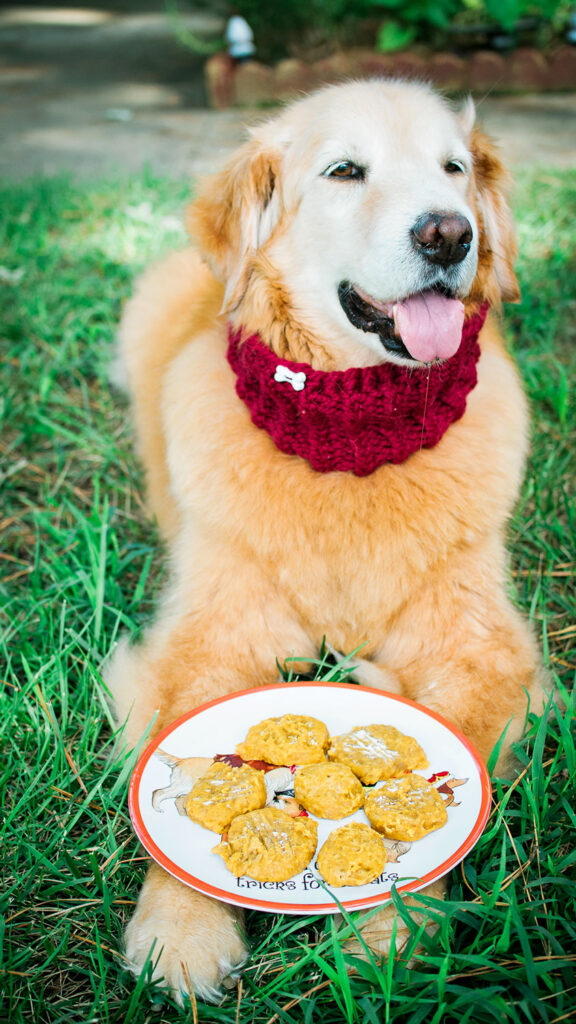 a senior golden retriever relaxes on the lawn with a plate of freshly baked dog treats