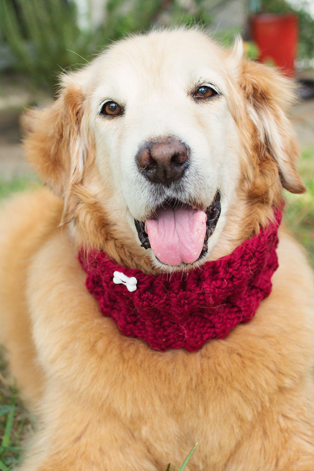 happy face of a senior gold retriever wearing a hand knitted bright red cowl with a dog bone button