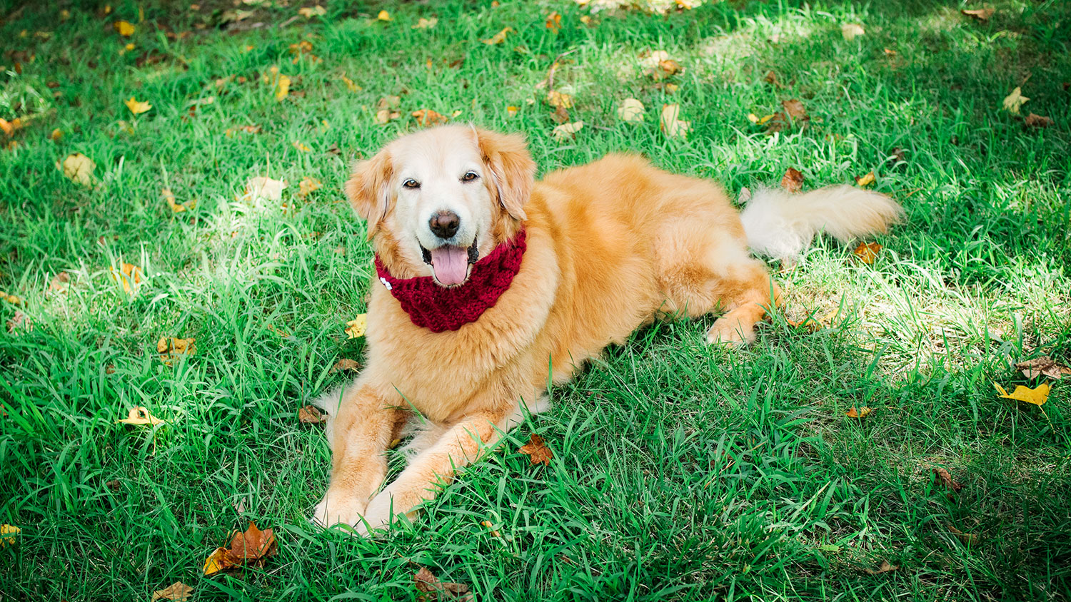 beautiful sugar faced golden retriever posing in the grass wearing a bright red knitted cowl