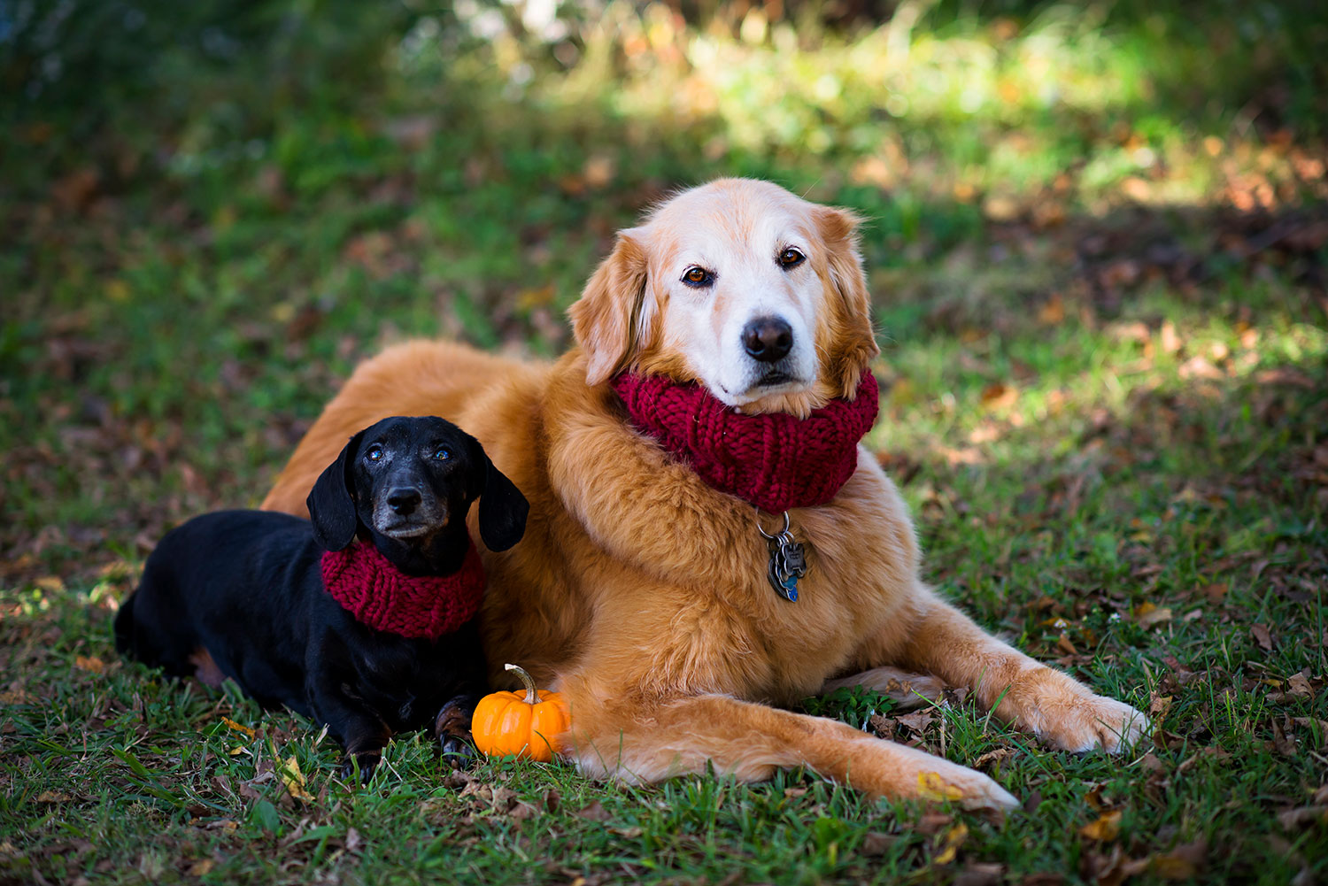 golden retriever and black dachshund both wear red knitted cowls and pose with a tiny orange pumpkin