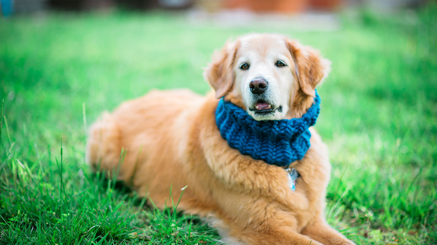 smiling golden retriever in a bright blue knitted dog cowl