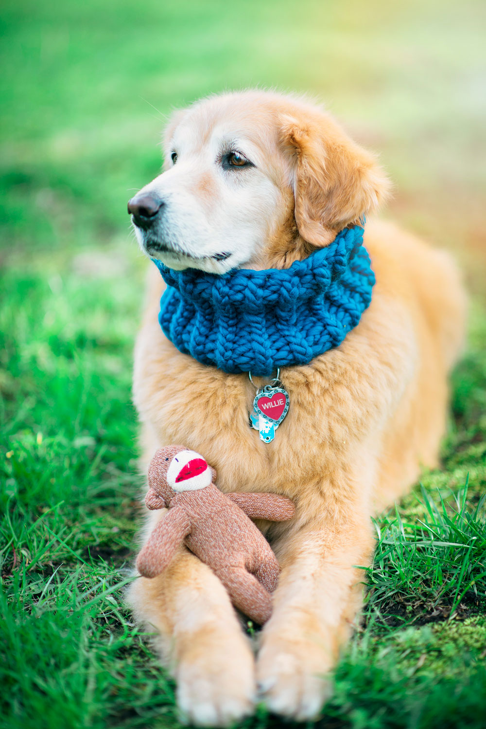golden retriever wears a blue knitted cowl and holds a sock monkey in his paws