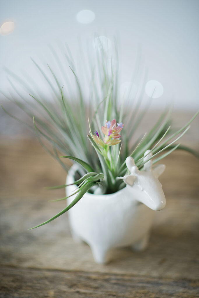 a white ceramic container holds a blooming air plant