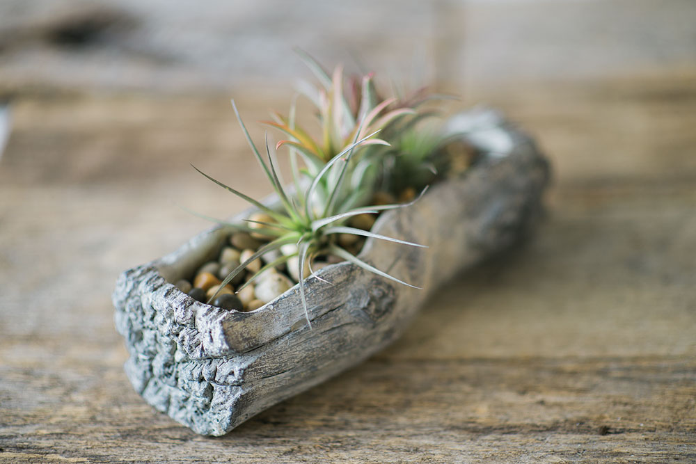 planter that looks like an old log displays a collection of air plants