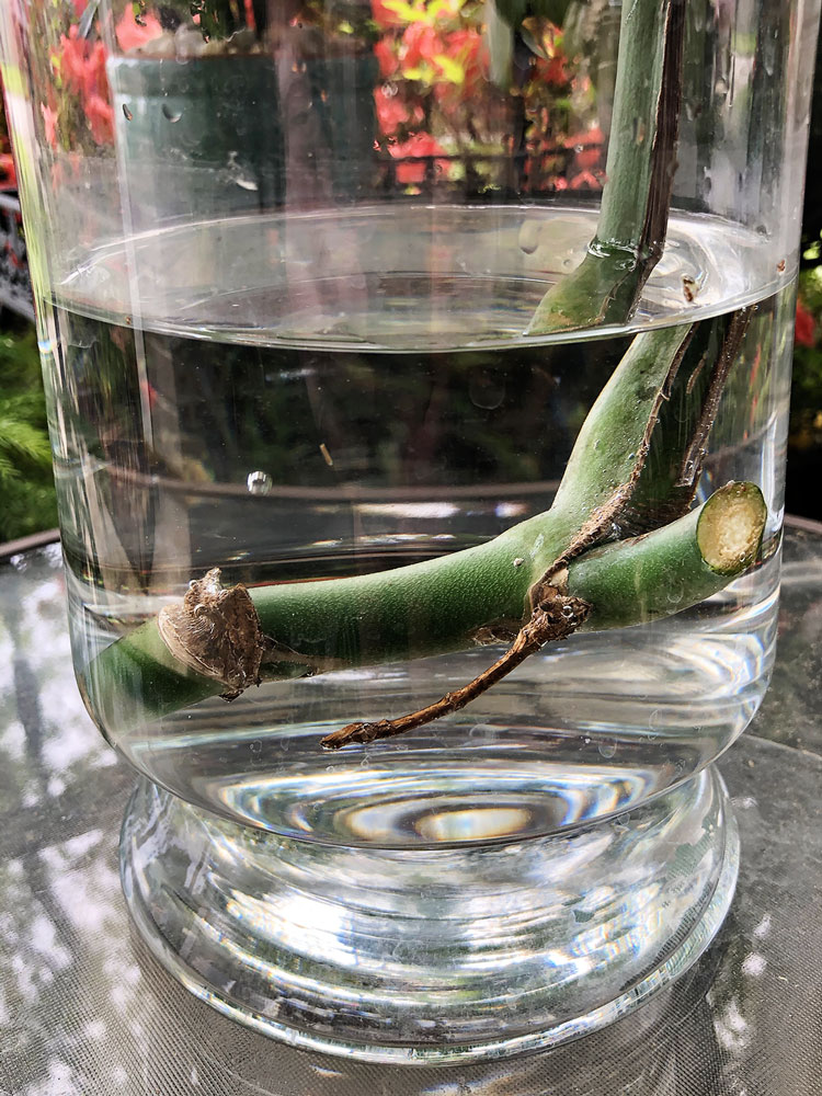 close up of monstera cutting submerged in water