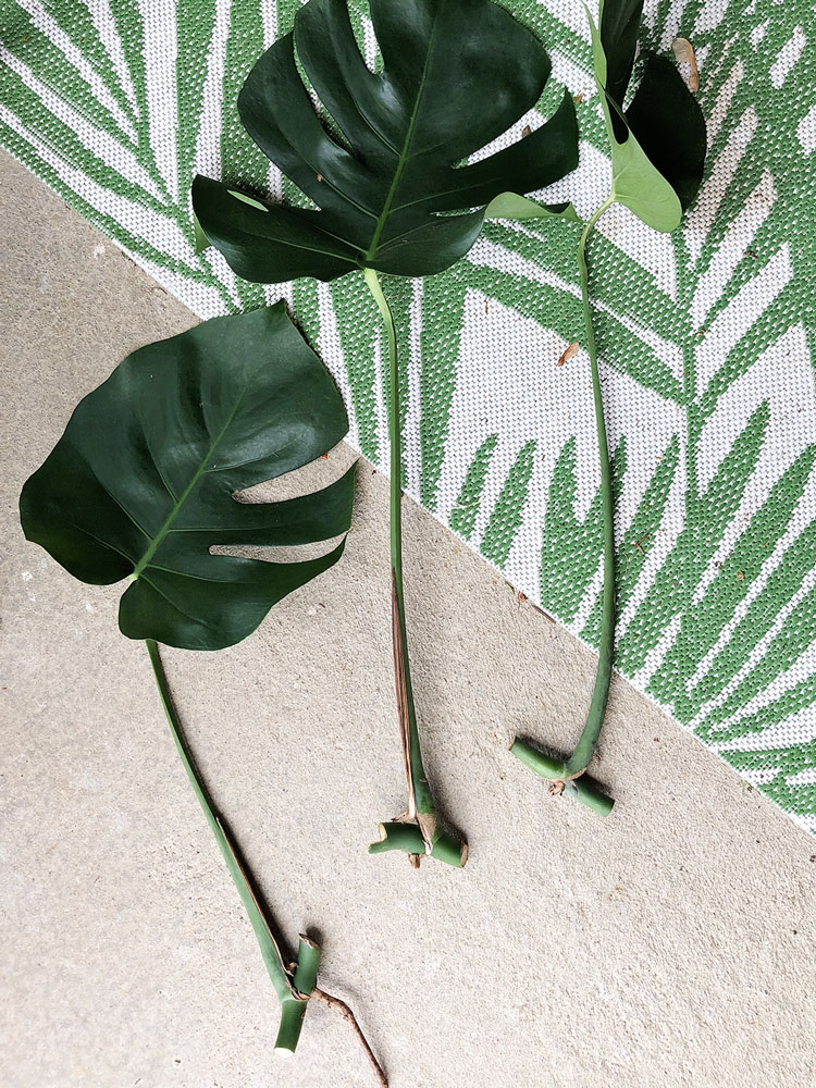 monstera leaves cut with nodes attached laying on an outdoor rug