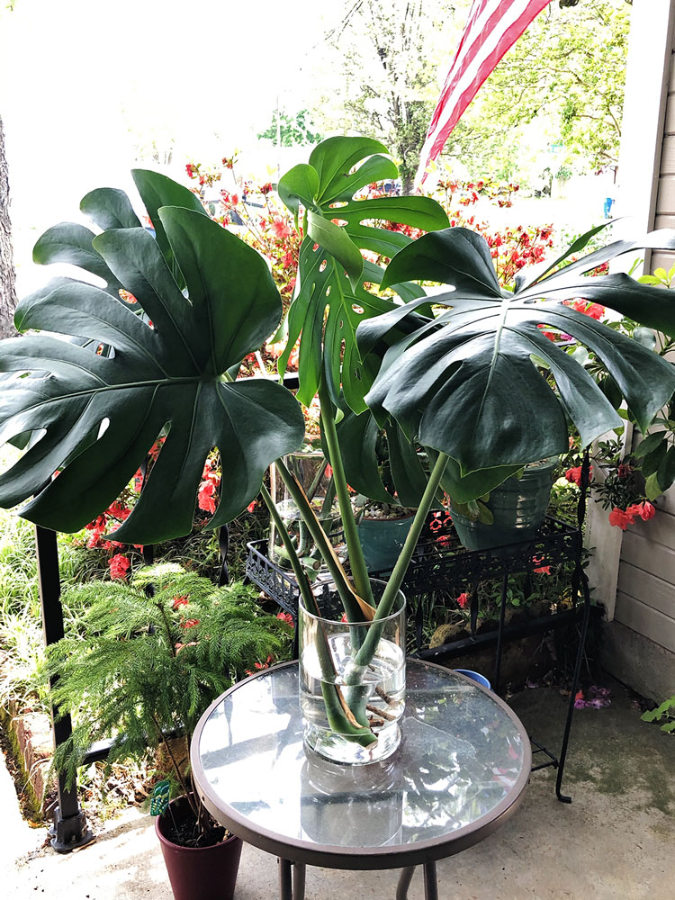 cuttings from a monstera plant in water