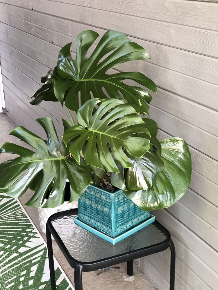 beautiful monstera plant in a turquoise planter