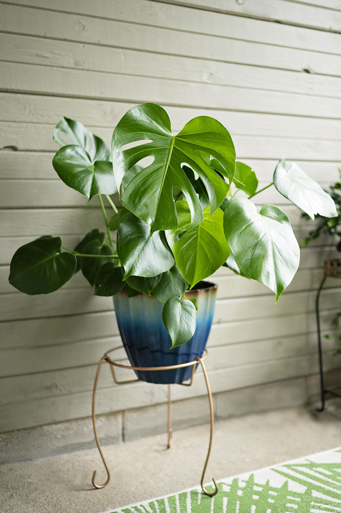 a smaller pot filled with split leaf philodendron plants